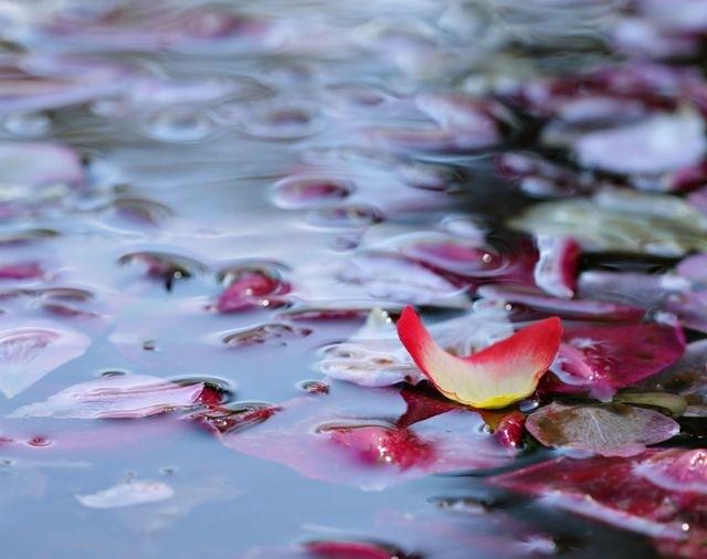 Como hacer agua de rosas